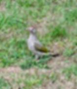 Green Woodpecker 180818-5, Juv, Elm Lodg