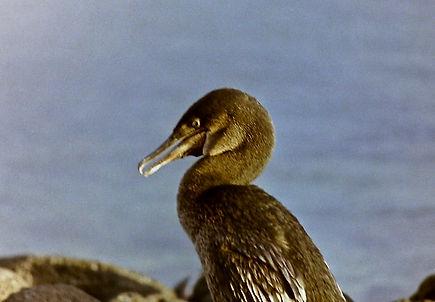 Flightless Cormorant 05a, Fernandina, Ga