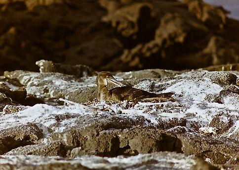 Flightless Cormorant 20a, Fernandina, Ga