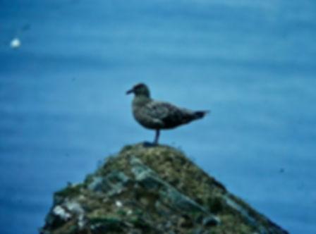 Great Skua 01a, Shetland, 16-7-77.jpg