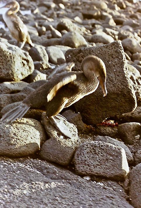 Flightless Cormorant 09a, Fernandina, Ga