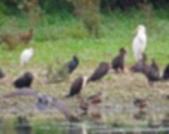 Egrets 06, CVL, 5_10_19.jpg