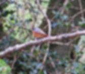 Redstart, Nags Head, FoD, 6_5_19.jpg