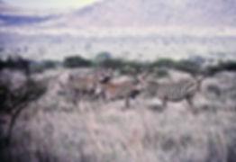 Common Zebra 01a, Kenya, 12_88.jpg