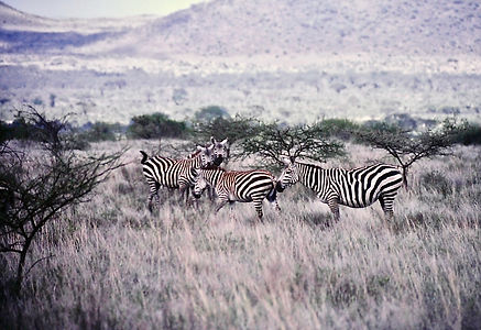 Common Zebra 01a, Kenya, 12_88.jpg