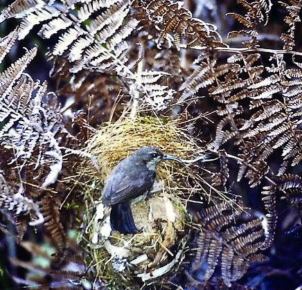 Souimanga Sunbird 04a, Ranomafana, Madag