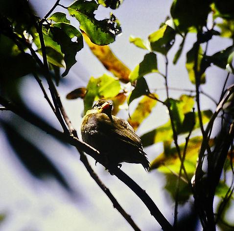 Sakalava Weaver 02a, Perinet, Madagascar