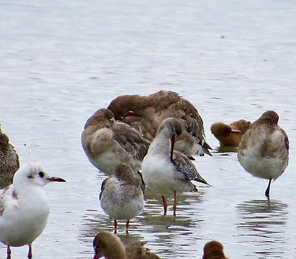 Spotted Redshank, Slimbridge, 16-8-20.jp