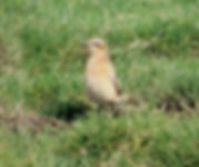 Wheatear 05a, Northwick Warth, 10-9-13.j