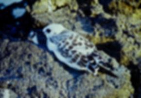 Swallow-tailed Gull 07a, Juv, Galapagos,