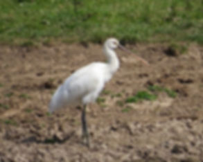 Spoonbill 180624-08, Slimbridge, 24_6_18