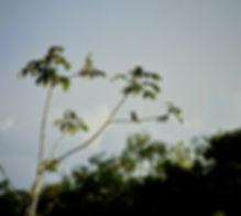 Chestnut Jacamar 01a, Limoncocha, 2-8-86