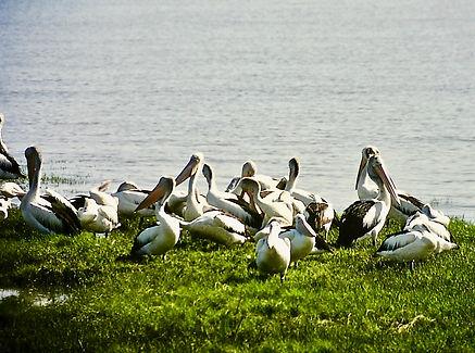 Australian Pelican 01a, Cairns, 12_93.jp