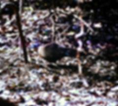 Giant Coua 03a, Berenty, Madagascar, 11_