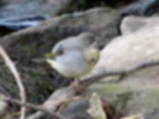 Grey Wagtail 17_7-09, Snuff Mills, 19_7_
