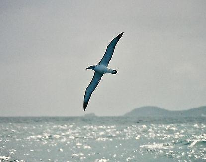 Shy Albatross 42a, Stewart Is NZ, 17-11-