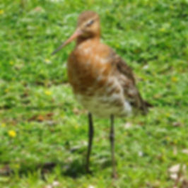 Black-tailed Godwit 17608, Slimbridge, 1