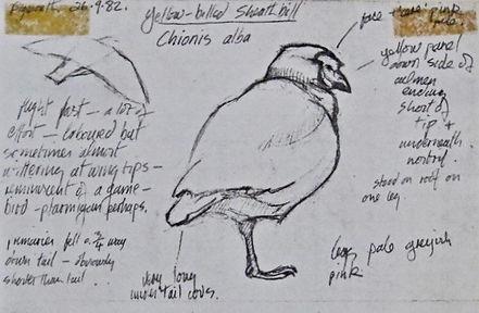 Snowy Sheathbill, LAT 01, Plymouth, 26-9