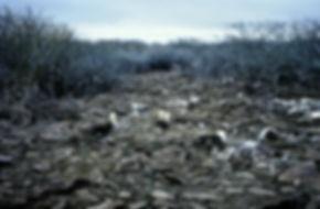 Waved Albatross 03a, Hood Galapagos, 25-