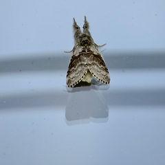 Pale Tussock Moth, Elm Lodge, 3_6_18.jpg