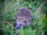 Eastern Hedgehog 01a, Hungary, 10_96.jpg