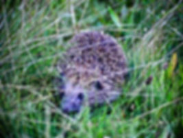 Eastern Hedgehog 01a, Hungary, 10_96.jpg