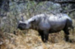 Black Rhinoceros 03a, Zimbabwe, 9_98.jpg