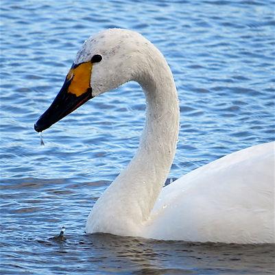 Bewick's Swan 171113a, Slimbridge, 30_11