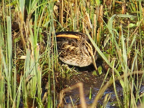 Jack Snipe 190108-07, Slimbridge.jpg