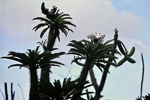 Madagascar Palm, Pachypodium lamerei 01a