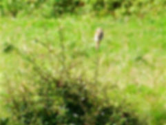 Woodchat Shrike 170803, Chipping Sodbury