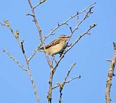 Whinchat 02a, Barrow Guerney, 21_9_14.jp