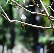 Madagascar Cuckoo 01a, Ambotofotsy, 23_1