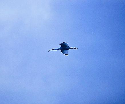 White Ibis 06a, Carolina, 24-10-87.jpg