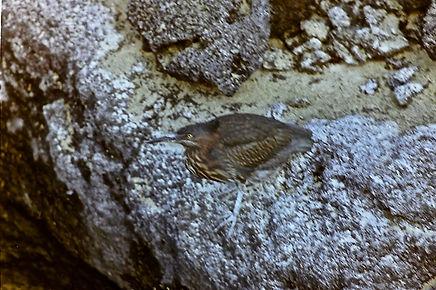 Lava Heron 03a, immature, Fernandina, Ga
