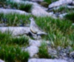 Dotterel 02a, Cairn Gorm, 10-7-77.jpg