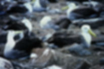 Waved Albatross 01a, Hood Galapagos, 25-
