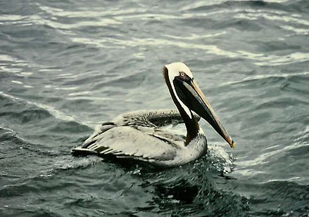 Brown Pelican 06a, Galapagos, 7_86.jpg