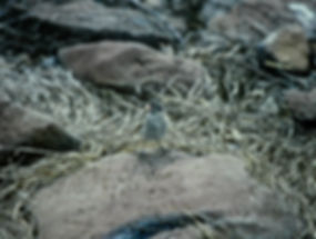 Small Ground Finch 01a, Hood, Galapagos,