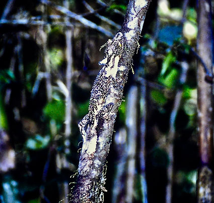 Leaf-tailed Gecko 01a, Ranomafana, 15_11