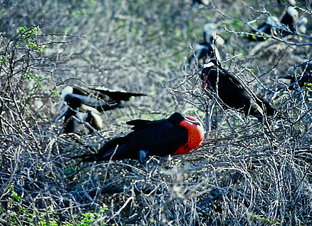 Magnificent Frigatebird 01a, male, North