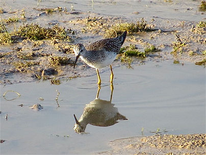 Lesser Yellowlegs 113a, Cheddar Res, 25_