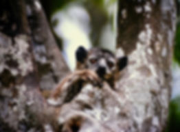 White-footed Sportive Lemur 05, Berenty,