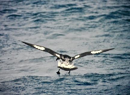 Cape Petrel 03a, Stewart Is NZ, 17-11-93