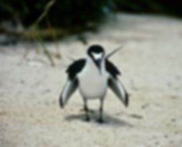 Sooty Tern 04a, Michaelmas Cay, Aust, 18