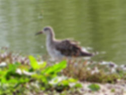 Ruff 170904, Slimbridge, 16_9_17.jpg