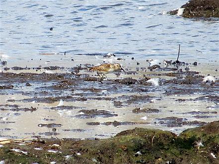 Least Sandpiper 04a, Lodmoor, 12_9_17.jp