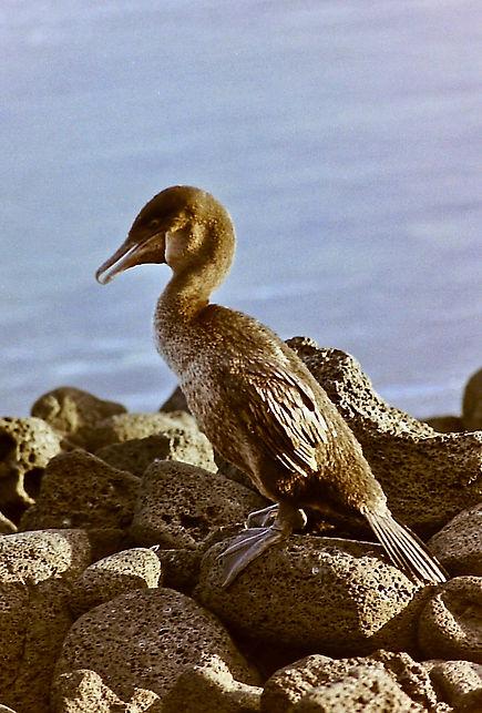 Flightless Cormorant 17a, Fernandina, Ga