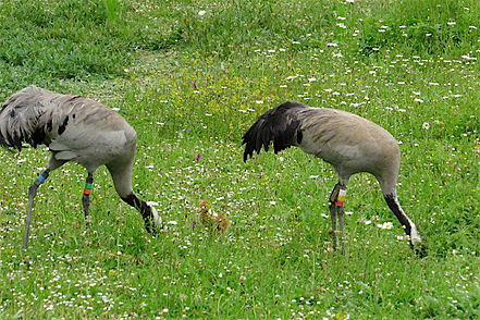Common Crane 13a, with chick, Slimbridge