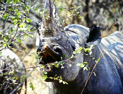 Black Rhinoceros 08a, Zimbabwe, 9_98.jpg